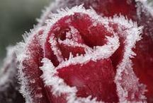 Rode rozen / Rode rozen