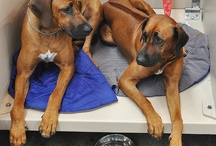 Rhodesian Ridgeback and Terriers