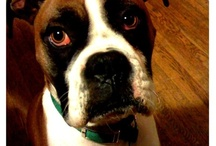 Dozer :: My Brown Dog Boxer / Because really, it's all about Dozer. / by Meagen Coburn