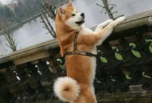 Akita for life ❤