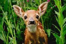 Photography - Animals - Deers