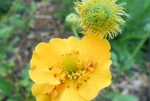 Geum Collection at Killiecrankie Farm Nursery / Geums are a wonderful group of evergreen plants which are experiencing a renaissance in modern gardens. Most are easy to grow suiting a novice gardener, with a few proving challenging enough to tempt a seasoned plant hunter.