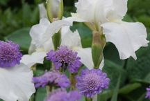 Scabiosa Combinations / Plant partnerships that include pincushion flowers