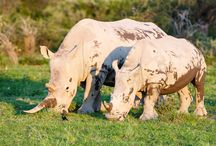 White rhino, Witte neushoorn / Witte neushoorns in Botswana.