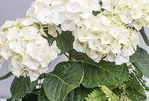 Live Arrangements / living arrangements, arrangements, orchids, succulents, hydrangeas, azaleas, flowers, foliage, greenery, green