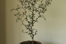 """Sophora prostrate """"Little Baby"""""""