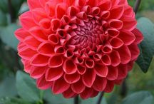 patates çiçeği