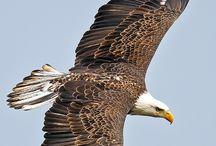 αετός1