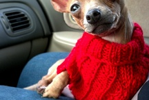 Stanley Poochie / Say hallo to mah (even more) leetle friend!  Stanley the possibly purepred tan nearly bald deerhead adjective modifier rescue chihuahua from Pawmetto Lifeline. http://www.projectpet.com