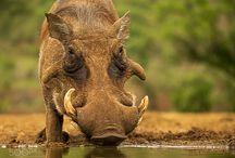 Art class / Warthog head, bear ears, hyena body, cheetah tail, ram horns