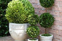 Preserved Boxwood Topiaries / These are the coolest trees.  They are preserved and they will last for years. Just mist on occasion to keep them fresh looking. We also carry a variety of boxwood wreaths.