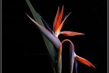 Bird of Paradise flower - Heliconia