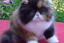 Gatos persas / Imágenes de gatos persas