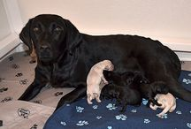 Newest Litter / Meet our latest litter of Helping Paws puppies that will go into training at 8 weeks old.
