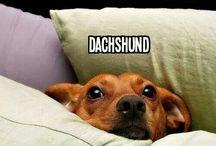 Mostly Dachshund
