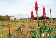 Piante di Aloe / Articoli relativi alle proprietà e modalità di coltivazione delle principali specie di piante di Aloe.