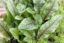 Seed Pantry Food Plants / Seed Pantry produces a fine range of culinary food plants to grow the best ingredients for your kitchen.