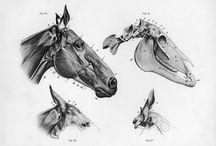 Cavalo anatomia