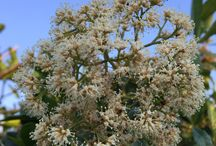 "Nuxia floribunda (Forest Elder / Forest Nuxia / Wild Elder) / A delightful, visually appealing and graceful tree, especially when in flower. With a lovely, clearly rounded, densely leafy crown, prolific flowering display and attractive, often patchy bark, it makes a stunning focal point in any garden, big or small.  The name floribunda means ""many flowered"", and these large, prolific flowerheads are a distinguishing feature from other species of Nuxia, which comprises of about 20 species, 5 of which occur in SA."