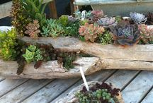 Succulents in old wood