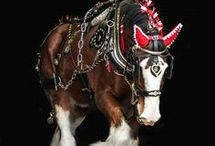 Clydesdale•