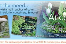 Accents --Water Features-Containers / STEPABLES are such great additions to any garden! Use our plants as accent plantings, around ponds and fountains, or any place your landscape needs a face lift.
