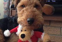Welsh Love / All things Sophie, er, Welsh Terrier.  / by Wende Larsen