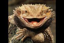 AGAMKY - Bearded Dragons / Pet Lizard