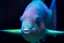 Parrotfish / Visit our site www.snorkelaroundtheworld.com Build up our snorkeling community :)