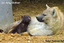 Baby hyena / Baby hyena pictures
