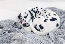 Adorable Dalmations