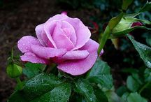 Beautiful Rose Pictures / A selection of lovely rose photographs, all white and mauve varieties.