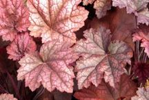 Heuchera-wanted