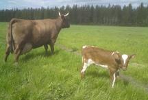 Lehmiä/cows