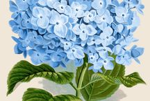 Hydrangeas in blue