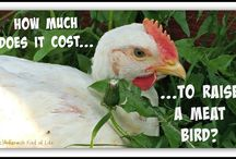 Raising Chickens / Backyard chickens? Homestead a large chicken coop? We've got you covered on how to raise chickens.