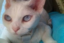 My cat - instagram: raffaello_devon_rex_cat