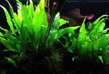 Aquarium Plants Caresheets