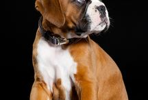 BOXER LOVE / #Boxer #Dog #Pet #animal