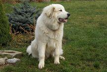 Pyrenean mountain dog / Pyrenejský horský pes - Roxy (Ariel Forever Drem)