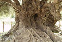Olive tree - yaşlı zeytin ağaçları