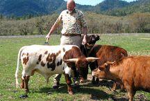 mini cow vechur
