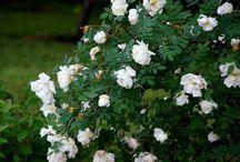 valkoinen pensasruusu