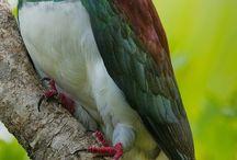 Wood pigeon / Wood pigeon