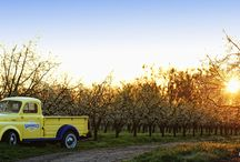 Where Our Prunes Are Born / Get a glimpse into our orchards where our prunes are tenderly cared for and cultivated for harvest.