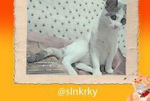 Kedi Özledi sizlerden gelenler / En güzel kediyi seçiyoruz. Sizler de kedilerinizin fotoğraflarını bizlerle paylaşın; #Kediozledi Bütün kedi sevenleri bekliyoruz.