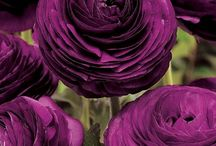 Color Purple | Paars / Mauve | Sering | Hortensia | Druif | Maagdenpalm | Iris | Indigo | Jacaranda | Lavendel | Aubergine