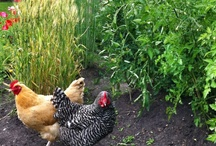 Urban Farming / Mostly chickens but may include other things that go beyond basic backyard gardening