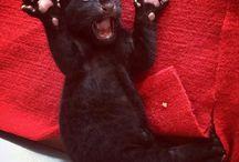 rare black leopard cub n more