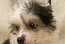 puppies 2015 / puppies Chinese crested dog